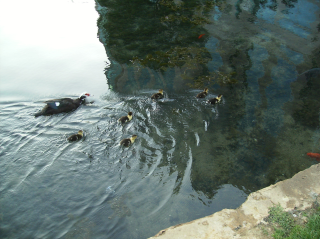 Female duck and ducklings swimming