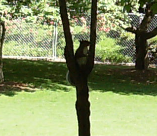 Squirrel in tree fork